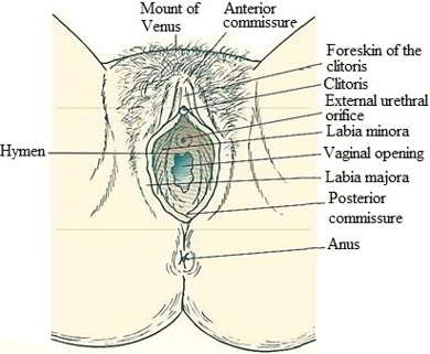 Structures of the vulva - herpes on vagina