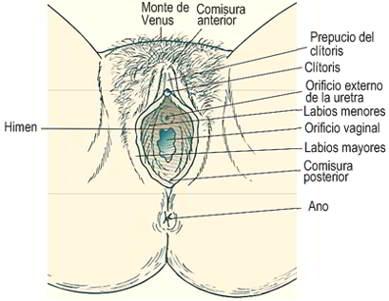 Etapas del herpes vaginal y herpes vulvar