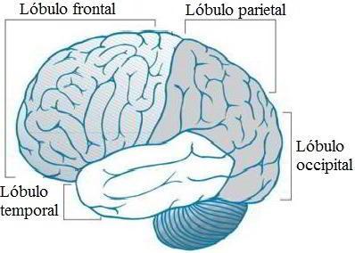 Encefalitis viral por herpes simple - El cerebro